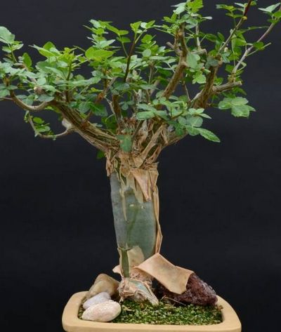 Коммифора (commiphora myrrha)
