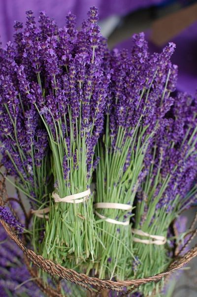 Лаванда (lavandula officinalis)