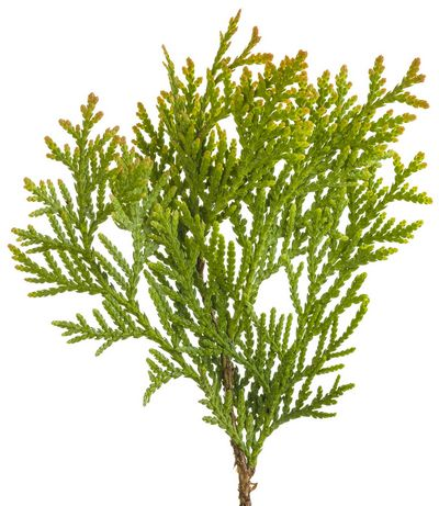 Туя (thuja occidentalis)